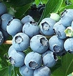 Tifblue Blueberry Plants