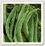 Commodore Heirloom Bush Bean Seed