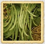 Contender Snap Bush Bean Seed