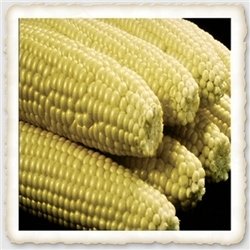 Golden Queen Sweet Corn