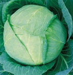 Tropic Giant Cabbage Plants