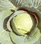 Early Jersey Wakefield Cabbage Plants