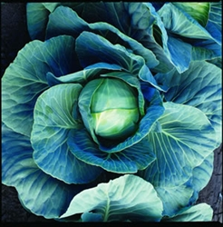 Dynamo Cabbage Plants