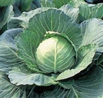 Early Flat Dutch Cabbage Plants
