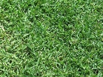 Common Unhulled Bermuda Grass Seed Drought Tolerant Grass