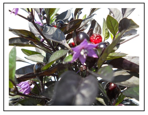 black pearl pepper plant piedmont farm and garden
