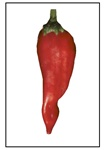Chimayo Pepper
