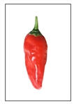 Costeno Rojo Pepper