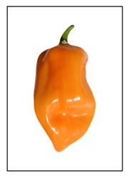 Habanero Orange Craigs Pepper