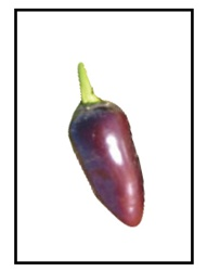 Jalapeno Purple Pepper