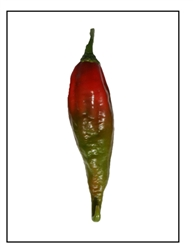 Klinger's Florida Grove Hot Pepper Plant