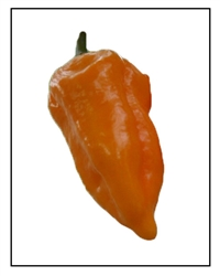 Yellow Naga Pepper