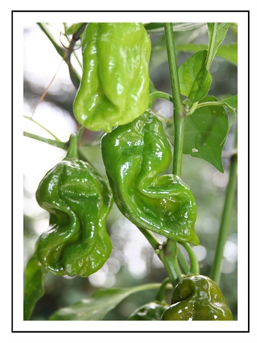 Scorpion pepper plant