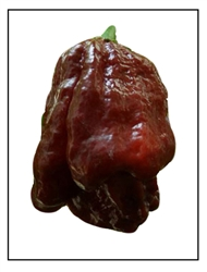 Chocolate Moruga Scorpion Pepper Plant
