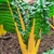 Bright Yellow Swiss Chard Plants