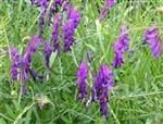 Hairy Vetch Cover Crop & Legume Seed