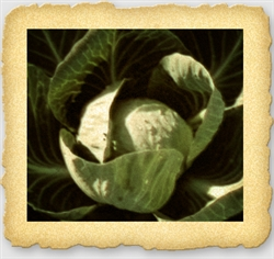 "<SPAN style=""FONT-FAMILY: Arial Black; COLOR: #004500; FONT-SIZE: 14pt"">All Season Cabbage Seed</SPAN>"