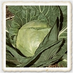 "<SPAN style=""FONT-FAMILY: Arial Black; COLOR: #004500; FONT-SIZE: 14pt"">Early Round Dutch Cabbage</SPAN>"