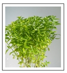 Basil Green Bouquet