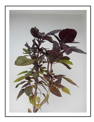 Basil Red Rubin