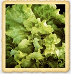 Black Seeded Simpson Lettuce Seed