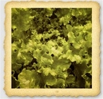 Salad Bowl Green Lettuce Seed