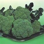 Broccoli Plants Premium Crop