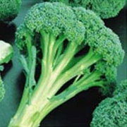 Arcadia Broccoli Plants