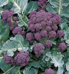 Early Purple Sprouting Broccoli Plant