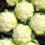 Snowball Cauliflower Plants