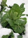Champion Collard Plants