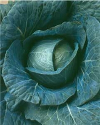 Bravo Cabbage Plants