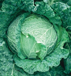 Savoy King Cabbage Plants