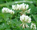 White Dutch Clover Cover Crop Seed