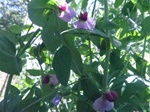 Austrian Winter Peas Forage Cover Crop Seed
