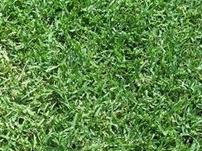 Common unhulled bermuda grass seed drought tolerant grass seed piedmont farm garden - Drought tolerant grass varieties ...