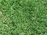 Common Hulled Bermuda Grass