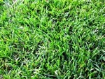 Carolina Blend Grass Seed