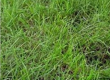 Creeping Red Fescue Grass Seed
