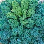 Dwarf Blue Scotch Kale Plants