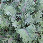 Red Russian Kale Plant