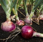 Red Candy Apple Onion Plants:Intermediate-Day