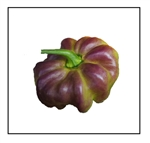 Aji Cachucha Purple Splotched Pepper
