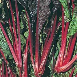 Burgundy Ruby Red Swiss Chard Plants