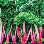 Peppermint Swiss Chard Plants