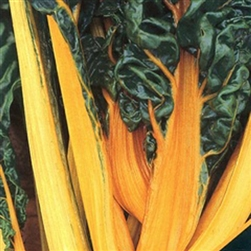 Oriole Orange Swiss Chard Plants