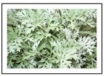Wormwood Herb Plants